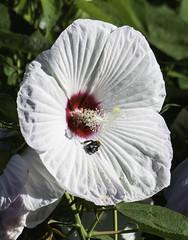 Bee_SAF1955 (sara97) Tags: bee bloom citypark copyright©2018saraannefinke flower floweringplant insect missouri nature petal photobysaraannefinke pollinator saintlouis towergrovepark towergrovepark2018 urbanpark