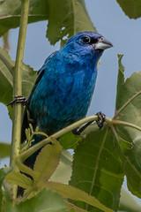 Blue Grosbeak (Kevin E Fox) Tags: bluegrosbeak grosbeak birding birdwatching birds bombayhookwildliferefuge delaware nature nikond500 nikon sigma150600sport sigma