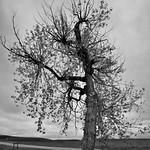 A Lone Tree (Black & White, Badlands National Park) thumbnail