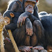 Bored chimpanzee mother with kid