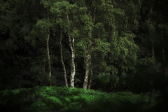 Deep dark woods (JonoHub) Tags: birches england dark woodland trees green forest woods