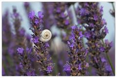 Snail&Lavender (marypink) Tags: lavanda lavender snail provenza francia provence france flowers parconaturaleregionaledelverdon alpesdehauteprovence 2470mmf28 summer estate nikond7200