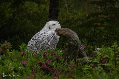 Snowy Owl-SNP-18-2 (Ian L Winter) Tags: ianwinter ianwinterphoto irishloop nature newfoundland snp salmoniernaturepark snowyowl www wwwianwinterphotocom