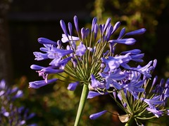 Agapanthus flowers opening (Keith Coldron) Tags: flowerhead opening blue plant garden outdoors