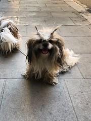 Imposible molar más que este perrete  #perros #dogs #cane #hund #pets #instapets #mascotas #instadogs #dogsofinsta #raval #lhasaapso #peinado #look #hairstyle #cool (Carolina_BCN) Tags: perros dogs cane hund pets instapets mascotas instadogs dogsofinsta raval lhasaapso peinado look hairstyle cool