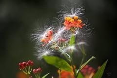 (Carlos Santos - Alapraia) Tags: flower seed ngc ourplanet animalplanet canon nature natureza wonderfulworld highqualityanimals unlimitedphotos fantasticnature