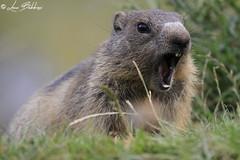 Angry Marmot (Luca Bobbiesi) Tags: marmot marmotta nature natura roditori animali trentinoaltoadige trentino vezzena canoneos7d canonef100400mmf4556lisusm