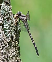 Gray Petaltail (Tachopteryx thoreyi) (monon738) Tags: graypetaltail petaltaildragonfly dragonfly tachopteryxthoreyi tachopteryx odonata insect nature wings bug indiana pentax k3 wildlife macro 300mm closeup smcpda300mmf40edifsdm petaluridae