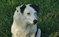 IMG_6237 (jeremy tekell) Tags: heterochromia border collie old puppy dog cute