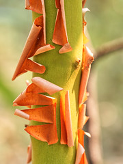 Green and orange (piranhabros) Tags: orange green peel manzanita bark tree