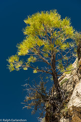 Irridescent Pine (Ralph Earlandson) Tags: coloradoplateau zion utah tree desert zioncanyon observationpoint