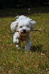 """I'm coming!"" :) (green_lover (I wait for your COMMENTS!)) Tags: dog dogs maltese fela pets animals white grass"