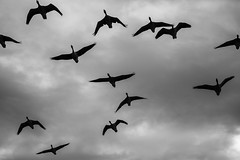The Birds... (Hemzah Ahmed) Tags: monochrome monochromatic blackandwhite blackwhite blacknwhite geese sky clouds moody outdoor outdoors canon5dmarkiii canon5dmark3 canon100400mmf4556lisiiusm canon100400mm dramatic drama hydepark london bird birds animals nature naturephotography photography