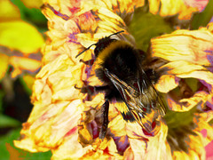Bee-hind the Bee (Steve Taylor (Photography)) Tags: bee insect digitalart black brown yellow mauve green closeup macro newzealand nz southisland canterbury christchurch flower dahlia