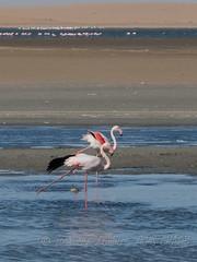 Pretty Flamingos in training for the ballet (Nanooki ʕ•́ᴥ•̀ʔっ) Tags: africa namibia ©suelambertlrpscpagb na walvisbay erongoregion flamingos birds