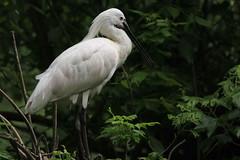 Strumento (lincerosso) Tags: uccelli birds spatola platalealeucorodia becco strumentospeciale evoluzione bellezza armonia funzione