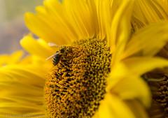 honey bee in yellow dream (schda22) Tags: blüte pollen biene nektar natur honig leben gelb yellow honey bee honeybee