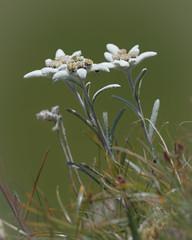 Edelweiss  18003 (bertheeb) Tags: edelweiss alpenblume nikon d750 500mmvr