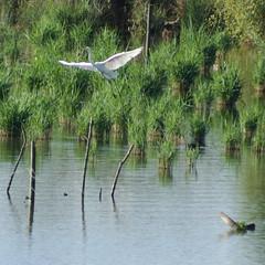 IMG_1919 (PO3YEJlb) Tags: hautrhin 68 petitecamargue птица oiseau vogel πουλί alsace saintlouis