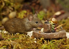 wild garden mouse with table (5) (Simon Dell Photography) Tags: house mouse log pile nature wildlife animal rodent cute funny george simon dell photography sheffield uk old english garden summer flowers fantasy home coconut door table food