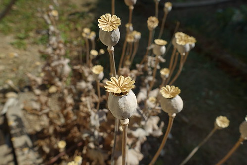 Dry opium poppy, From FlickrPhotos
