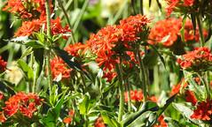 Maltese Cross (pamfromcalgary) Tags: plant flowers maltesecross ellisbirdfarm