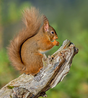 JWL8727  Red Squirrel..