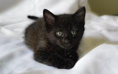 Bundle of trouble (Lisa M / /) Tags: cat cats kitten kittens baby babyanimal animalphotography animalpictures nikon nikond5100 nikonaustralia nikondslr