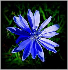 Natural Wonder (dimaruss34) Tags: newyork brooklyn dmitriyfomenko image flower cornflower