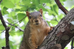 60/365/3712 (August 10, 2018) - Squirrels in Ann Arbor at the University of Michigan (August 10th, 2018)