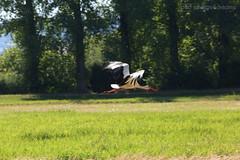 stork in flight (photos4dreams) Tags: gersprenz münster hessen germany naturschutz nabu naturschutzgebiet photos4dreams p4d photos4dreamz nature river bach flus susannahvictoriavergau susannahvvergau eventphotos4dreams canoneos5dmarkiii canoneos5dmark3 storch