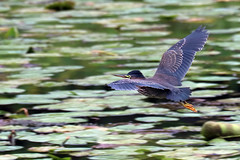 heron flying (Vermont Lenses) Tags: green heron williamstown vermont pond lily pads