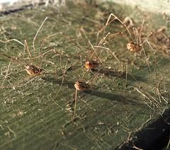 Harvestmen - Arachnids.. But.. Not Spiders (Gilli8888) Tags: northumberland nikon p900 coolpix nature wetlands insects druridge druridgeponds arachnid harvestman harvestmen four