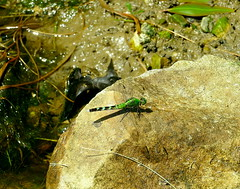 Female Eastern Pondhawk across the street from me (Eat With Your Eyez) Tags: dragonfly insect bug water animal nature rock pond eastern pondhawk female retention swamp odonate fz 1000 panasonic wing wings winged flight fly flying