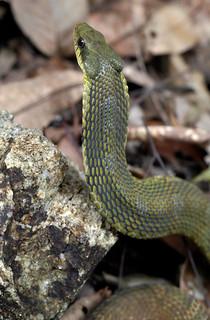 False Cobra (Pseudoxenodon karlschmidti)