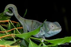 Parson's chameleon (Calumma parsonii) - DSC_7712 (nickybay) Tags: macro africa madagascar andasibe voimma calumma parsonii parsons chameleon chaemeleonidae