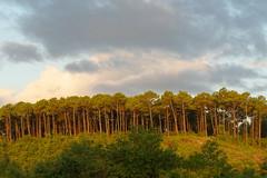 Pinède au lever de soleil (Zygonyx) Tags: pentax k1 dfa100mm macro landes biscarrosse atlantique