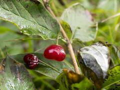 P8110075 (turbok) Tags: pflanze sträucher wildpflanzen alpendoppelbeerealpenheckenkirsche istloiceraalpigena