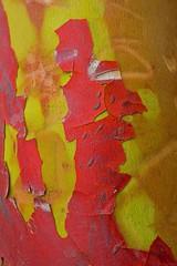 Cowboy poet (F0t0graphy) Tags: macro micro nikon nikkor 60mm bark arbutus tree jamesbay victoria britishcolumbia canada abstract