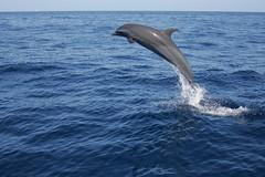 (fabhuleux) Tags: europe france portrait eau water dolphin fish jump antilles martinique nature sun mer boat sea dauphin