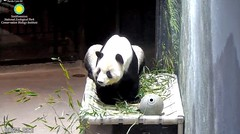 2018_08-12c (gkoo19681) Tags: tiantian dabigguy sohandsome proudpapa adorableears fuzzywuzzy hammock comfy babysteps goingpotty justlikebei justbecausehecan toocute toofunny contentment cooldude beingadorable precious amazing darling meltinghearts ccncby nationalzoo