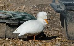 P2090550 (jeanchristophelenglet) Tags: écancourtfrancefermedécancourt poulailler chickencoop galinheiro canard duck pato blanc white branco