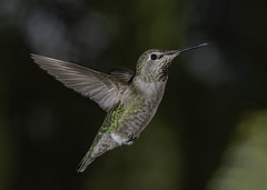 Hunting For Nectar In A Green World (Bill Gracey 20 Million Views) Tags: calypteanna offcameraflash hummingbird hummer hummingbirdphotography yongnuo yongnuorf603n poway nature naturalbeauty avianphotography color colorful
