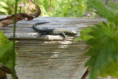 Sleeping beauty (ocelotcreative) Tags: lizard commonlizard sleeping baby wildlife ukwildlife londonwildlife sunshine