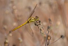 Vagrant darter (steenrode heidelibel) (moniquedoon) Tags: dragonfly nature