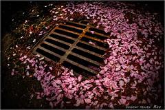 IRON and PETALS... (SHADOWY HEAVEN Aya) Tags: 180520p1s0128 北海道 日本 ファインダー越しの私の世界 写真好きな人と繋がりたい 写真撮ってる人と繋がりたい 写真の奏でる私の世界 coregraphy japan hokkaido tokyocameraclub igers igersjp phosjapan picsjp pink