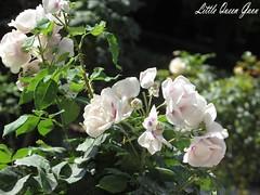 Little Roses (Little Queen Gaou) Tags: flowers flower fleurs fleur garden jardin green vert nature photography photographie inspiration beautiful roses white blanches summer été