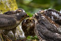 Sprawk Nest - Mum feeds the kids (andy_harris62) Tags: sparrowhawk birdofprey nikon d500 nest wildlifehides fledglings feeding birds hanks