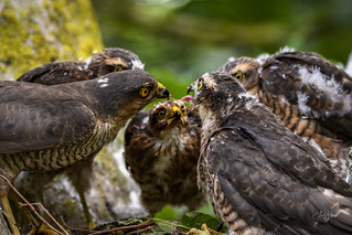 Sprawk Nest - Dad feeds the kids