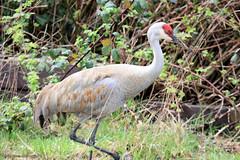 Sandhill Crane (gerry.bates) Tags: animal bird crane sandhillcrane antigonecanadensis delta bc canada georgecreifelmigratorybirdsanctuary